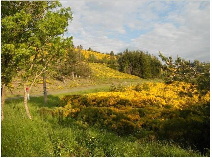 Location de vacances - Gîte à Mas-d'Orcières - Le Lozère au printemps (genêts en fleurs)