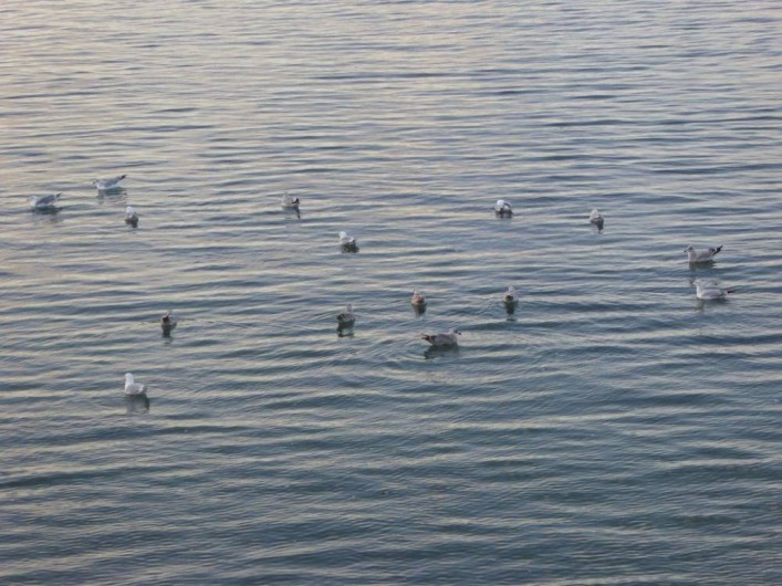 Location de vacances - Maison - Villa à Roscoff - Mouettes sur l'eau
