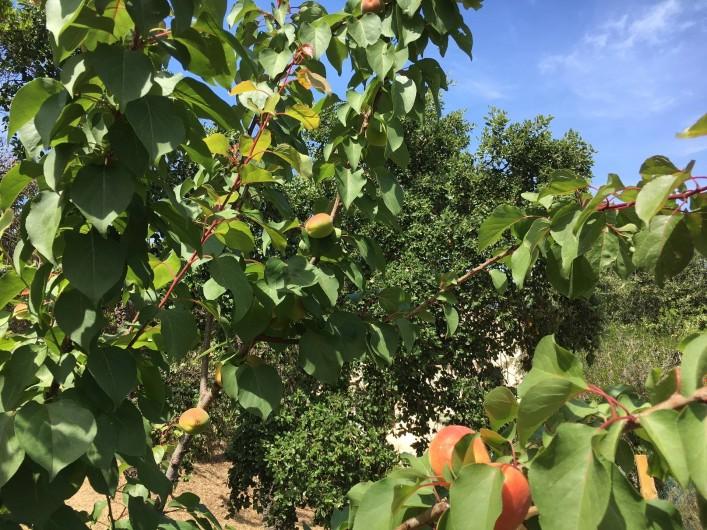 Location de vacances - Villa à Porticcio - Abricotier (mais aussi bananier, citronnier, olivier, palmier...)