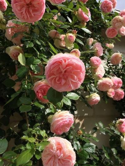 Location de vacances - Villa à Berthenay - Pierre de Ronsard roses around the house.