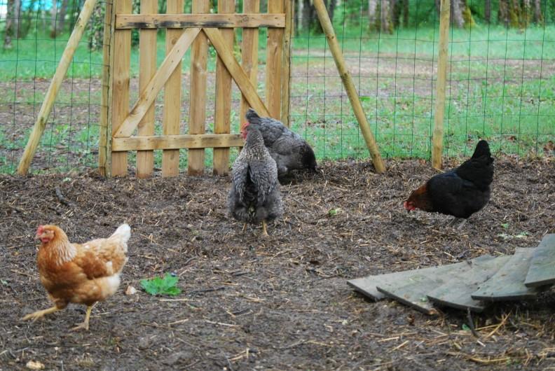 Location de vacances - Chalet à Vergt-de-Biron - Nos poules