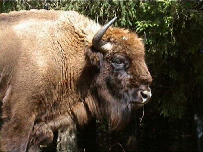 Location de vacances - Chalet à Blavignac - La Réserve des Bisons d'Europe vous propose une belle balade en calèche!