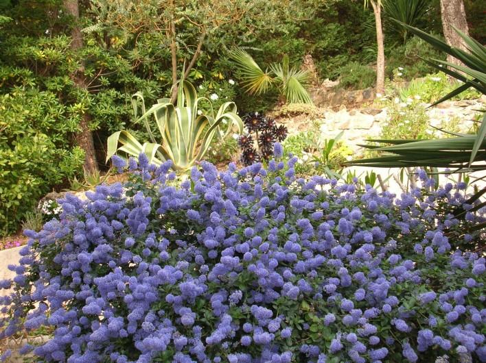 Location de vacances - Appartement à Sainte-Maxime - Céanothe en fleur
