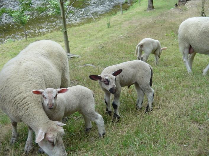Location de vacances - Gîte à Lacrouzette - Hameau de Thouy - Tarn -      Sidobre en Occitanie - Mouton