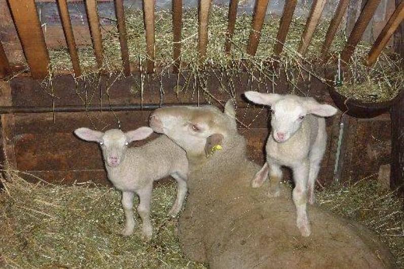 Location de vacances - Gîte à Paulhac - les agneaux et leur mère