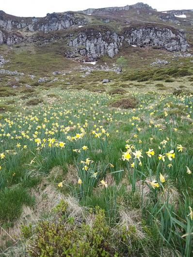 Location de vacances - Villa à Valuéjols - jonquilles en montagne en avril