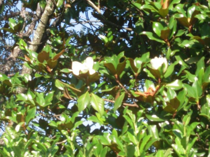 Location de vacances - Maison - Villa à Vallon-Pont-d'Arc - le magnolia en fleurs en juin