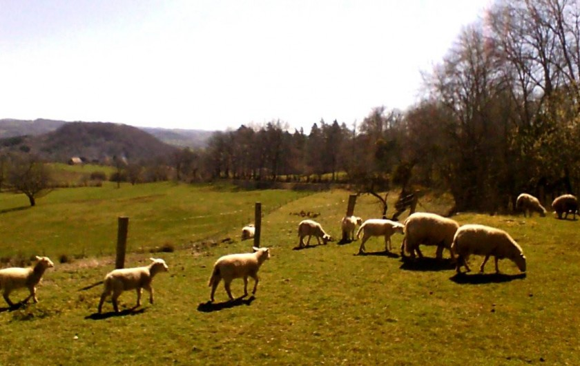 Location de vacances - Gîte à Champagnac - les moutons