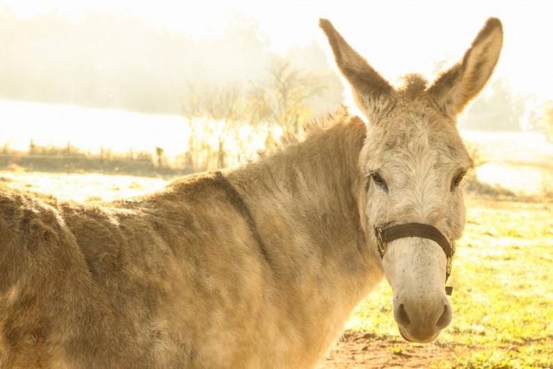 Location de vacances - Gîte à Le Bugue - Notre âne Roméo