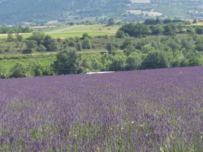 Location de vacances - Villa à Mirabel-aux-Baronnies - Champ de lavandes