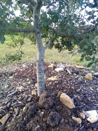 Location de vacances - Gîte à Sorges et Ligueux en Périgord - Chêne truffier