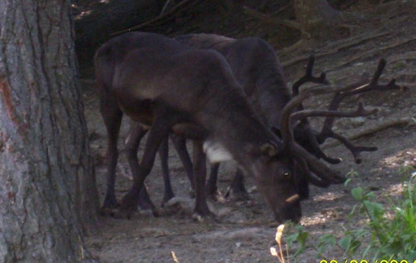Location de vacances - Chalet à Montclar - Elevage des rennes