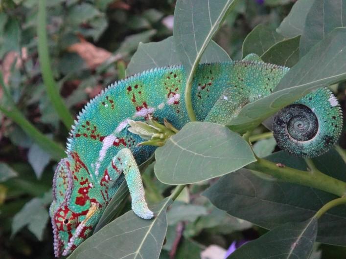 Location de vacances - Villa à Les Avirons - un caméléon dans le jardin