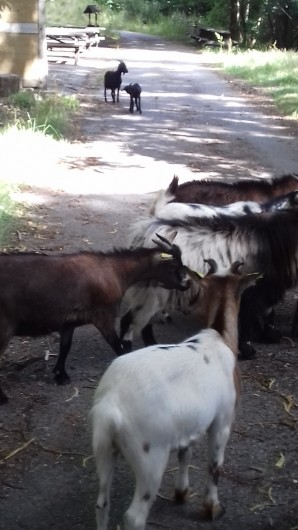 Location de vacances - Gîte à Crisolles - Animaux de la ferme en liberté sur le parc