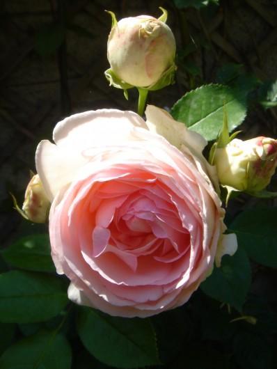 Location de vacances - Maison - Villa à Villard-de-Lans - Rose du jardin