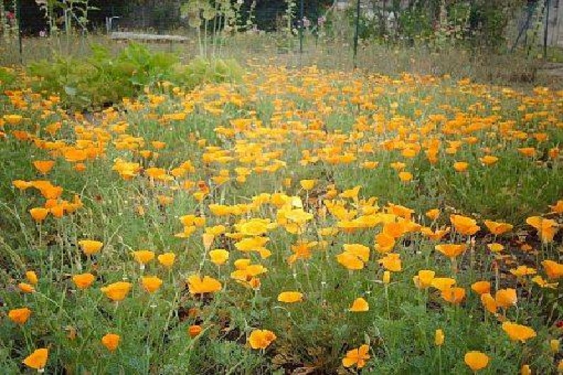 Location de vacances - Gîte à Pontlevoy - un beau tapis de pavots d e Californie dans le jardin