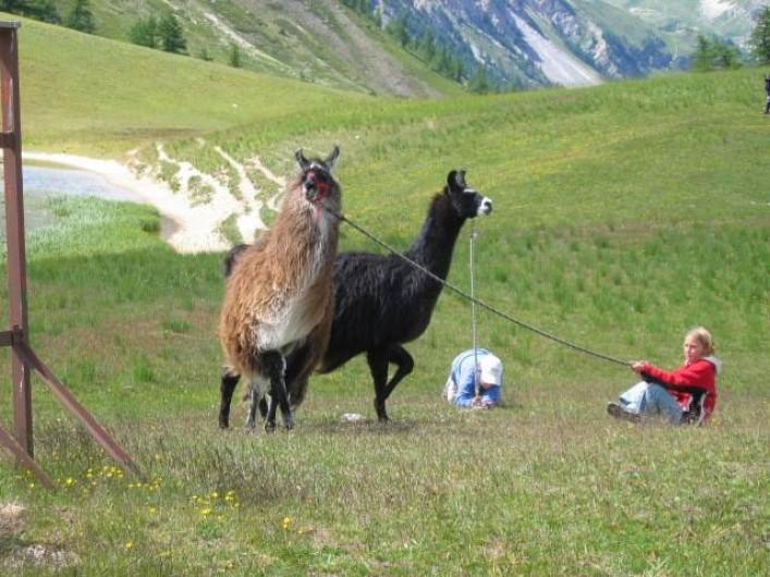 Location de vacances - Hôtel - Auberge à Névache - Nos lamas : compagnons infatigables de vos plus belle randonnées ...