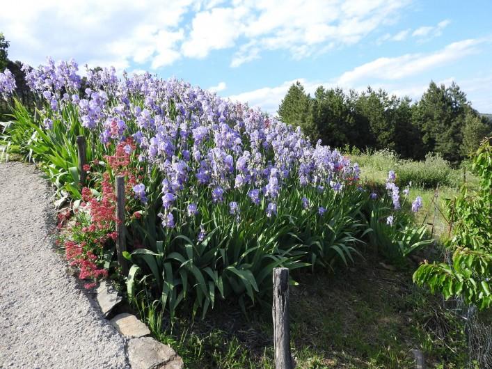 Location de vacances - Gîte à Malbosc - partére d' iris de printemps