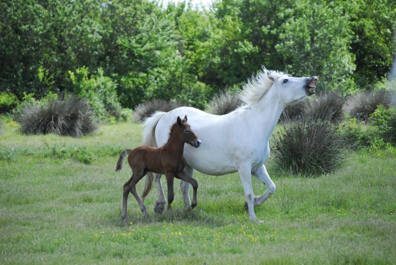 Location de vacances - Gîte à Saintes-Maries-de-la-Mer - Elevage de chevaux Camargue du Mas