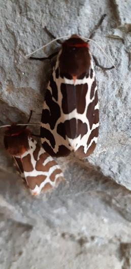 Location de vacances - Gîte à Sainte-Croix - Deux magnifiques papillons