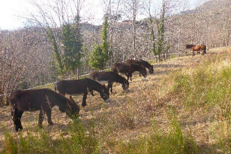 Location de vacances - Gîte à Prats-de-Mollo-la-Preste - Nos ânes.