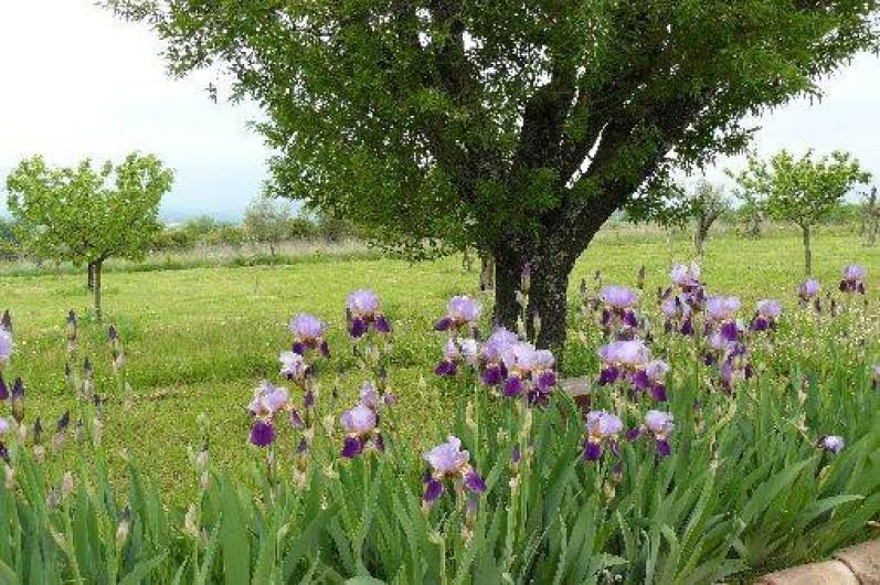Location de vacances - Gîte à Saint-Jean-de-Serres - Vieux amandier bordé d' iris