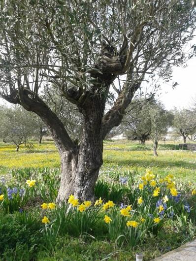 Location de vacances - Gîte à Saint-Jean-de-Serres - le vieux olivier