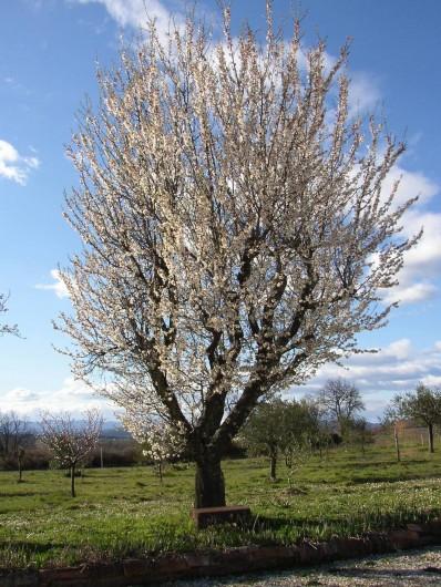 Location de vacances - Gîte à Saint-Jean-de-Serres - amandier en fleurs. Février